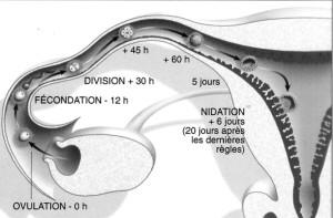 évolution embryon et nidation